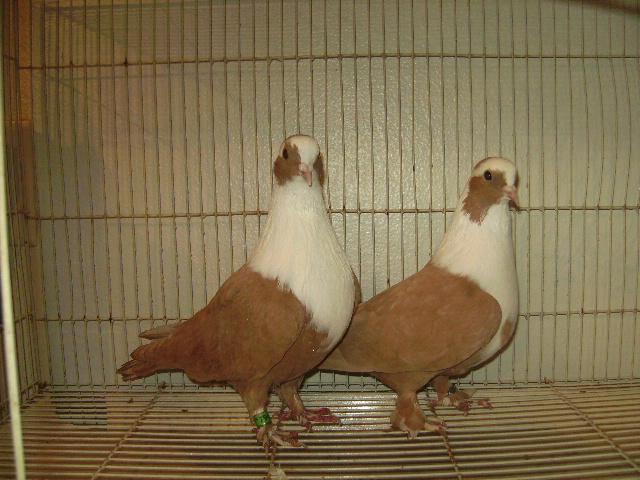 http://www.magicfancypigeons.com/birdpics/018.JPG