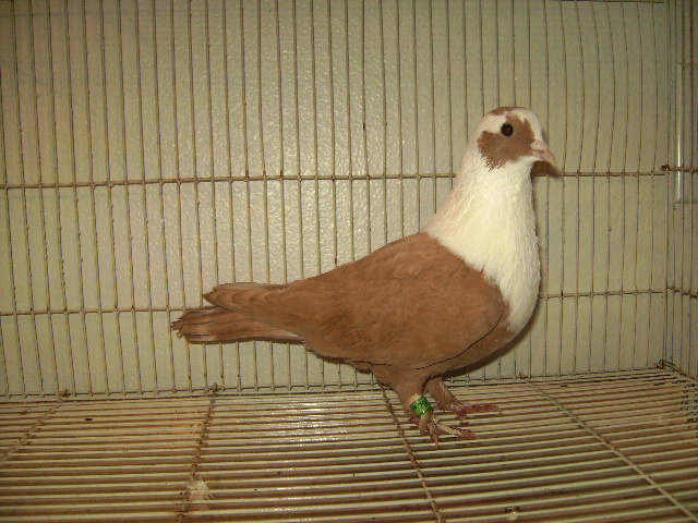 http://www.magicfancypigeons.com/birdpics/019.JPG