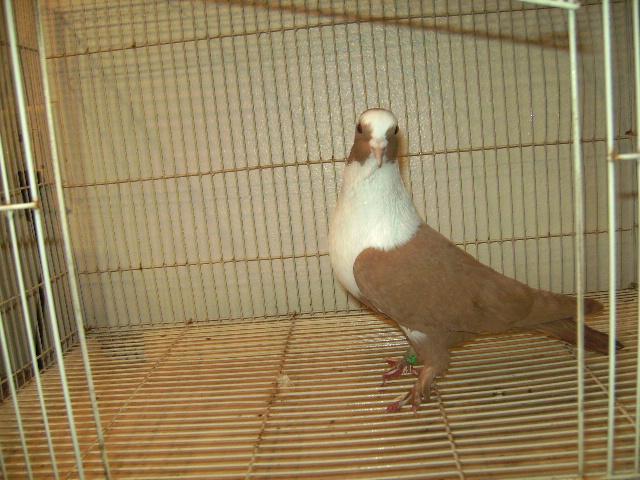 http://www.magicfancypigeons.com/birdpics/020.JPG