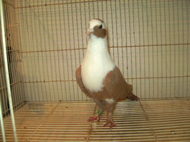 http://www.magicfancypigeons.com/birdpics/021.JPG