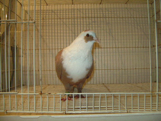 http://www.magicfancypigeons.com/birdpics/023.JPG