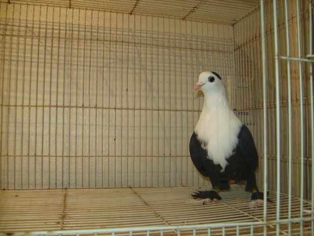 http://www.magicfancypigeons.com/birdpics/030.JPG
