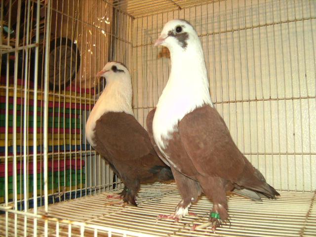 http://www.magicfancypigeons.com/birdpics/032.JPG