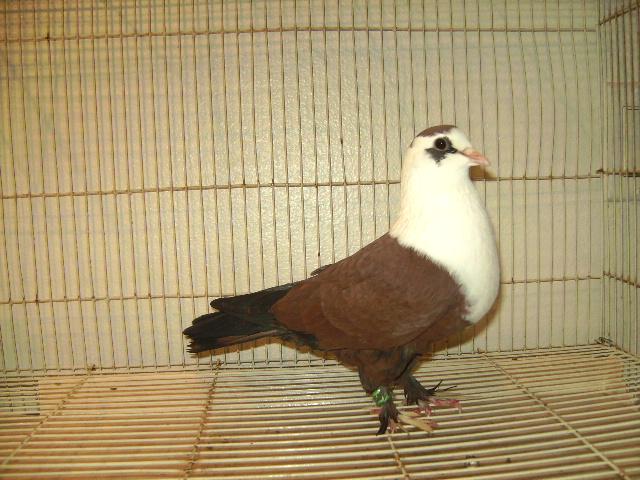 http://www.magicfancypigeons.com/birdpics/034.JPG