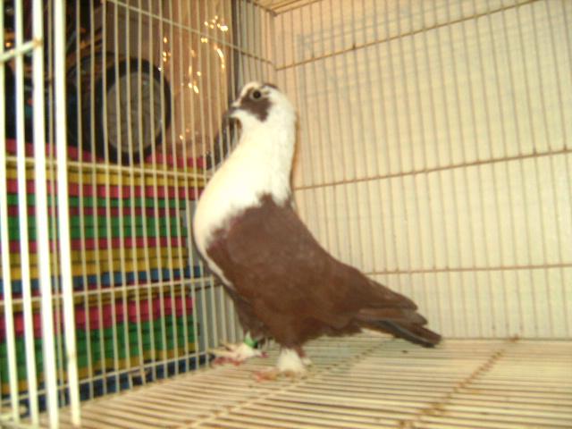 http://www.magicfancypigeons.com/birdpics/035.JPG