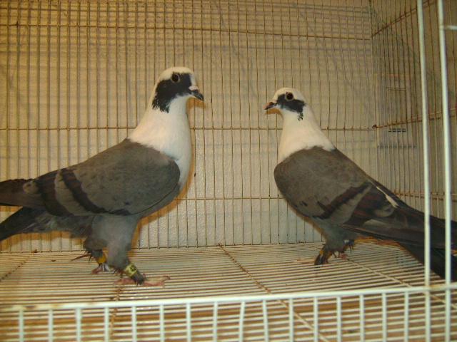 http://www.magicfancypigeons.com/birdpics/038.JPG