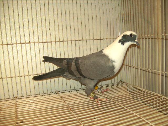 http://www.magicfancypigeons.com/birdpics/039.JPG