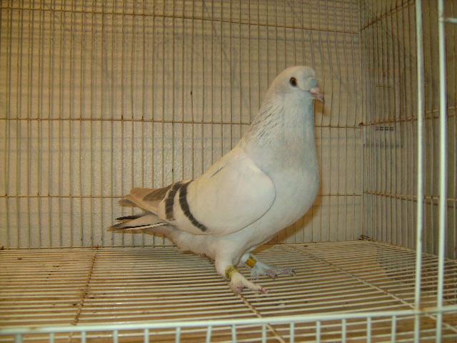 http://www.magicfancypigeons.com/birdpics/042.JPG
