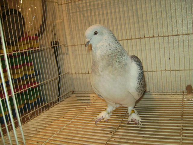 http://www.magicfancypigeons.com/birdpics/044.JPG