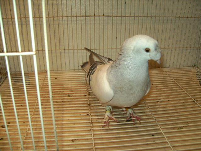 http://www.magicfancypigeons.com/birdpics/064.JPG