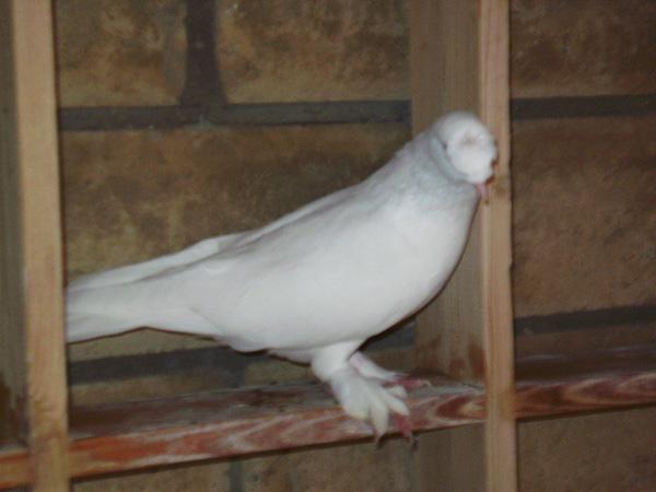http://www.magicfancypigeons.com/birdpics/1999.jpg