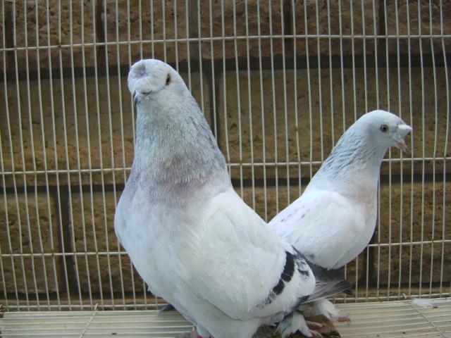 http://www.magicfancypigeons.com/birdpics/2003.jpg
