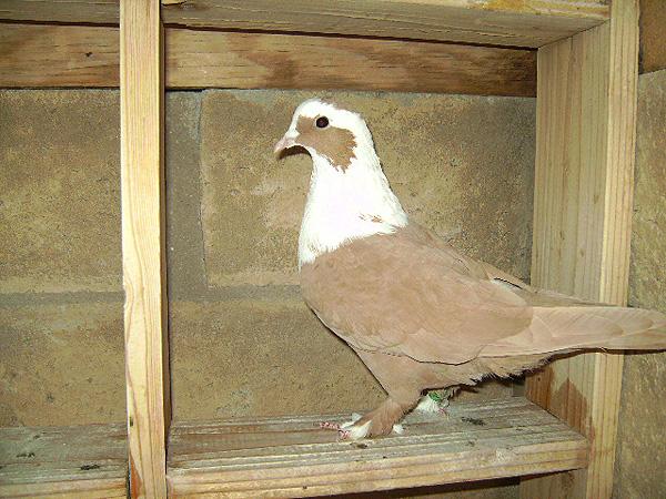 http://www.magicfancypigeons.com/birdpics/PICT0211.JPG