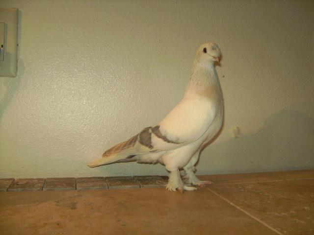 http://www.magicfancypigeons.com/birdpics/honeychestedsabuni.jpg