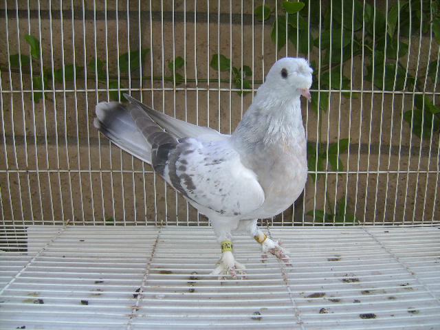 http://www.magicfancypigeons.com/birdpics/sabuni.JPG